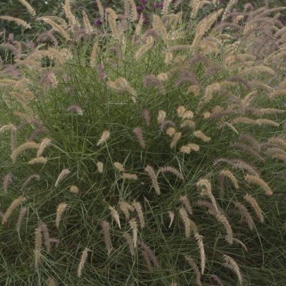 pennisetum-orintale-karley-rose