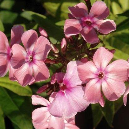 phlox-paniculata-sweet-summer-compact-dark-eye-bugas-langvirag