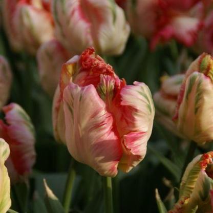 Apricot Parrot - papagáj tulipán