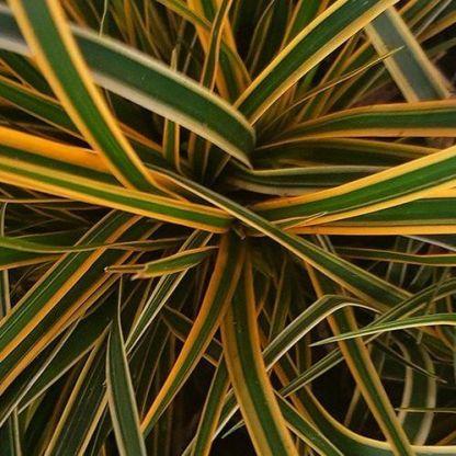 Carex-Everglow
