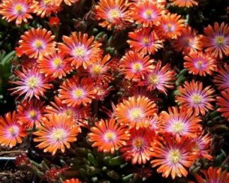 Delosperma Jewel of Desert-sunstone-delvirag