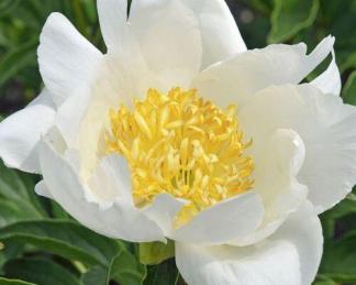 Paeonia lactiflora 'Jan Van Leeuwen' - lágyszárú bazsarózsa