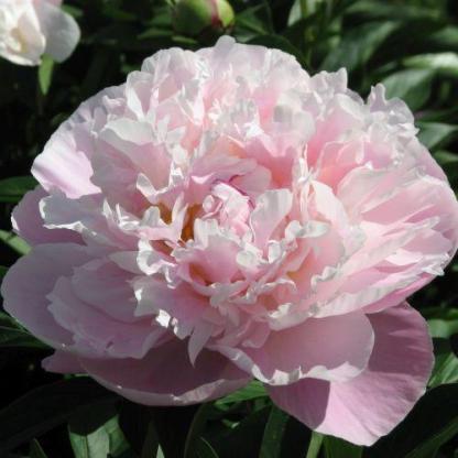 Paeonia lactiflora 'Lady Alexandra Duff' - lágyszárú bazsarózsa
