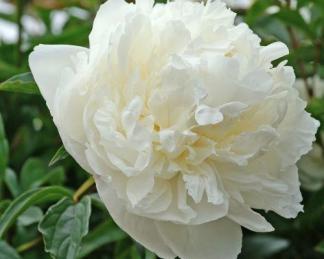 Paeonia lactiflora 'Marie Lemoine' - lágyszárú bazsarózsa
