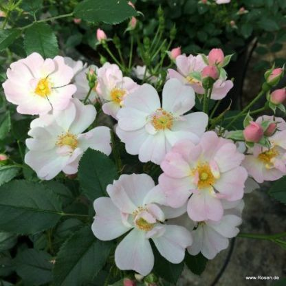 Sternenhimmel miniatúr rózsa