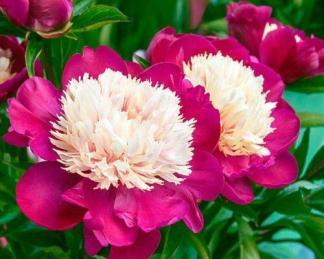 Paeonia lactiflora 'White Cap' - lágyszárú bazsarózsa