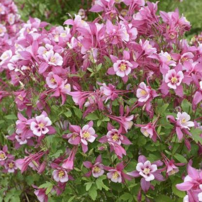 aquilegia-caerulea-kirigami-rose-and-pink-haranglab
