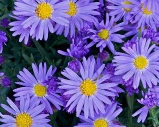 aster-dumosus-lady-in-blue-torpe-oszirozsa