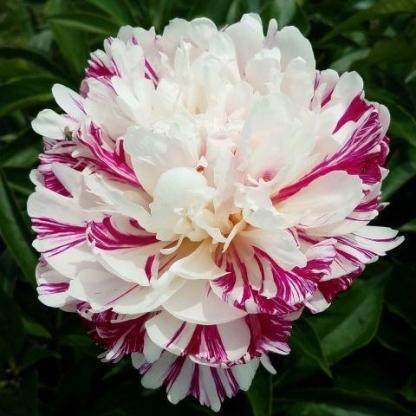 Paeonia lactiflora 'Candy Stripe' - lágyszárú bazsarózsa