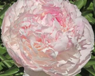 Paeonia lactiflora 'Chiffon Parfait' - lágyszárú bazsarózsa