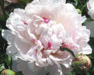 Paeonia lactiflora 'Chinook' - lágyszárú bazsarózsa