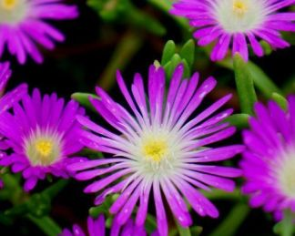 delosperma-wheels-of-wonder-purple-wonder-delvirag