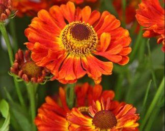 helenium-autumnale-ranchera-oszi-napfenyvirag