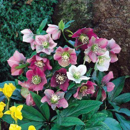 helleborus-orientalis-lady-mix