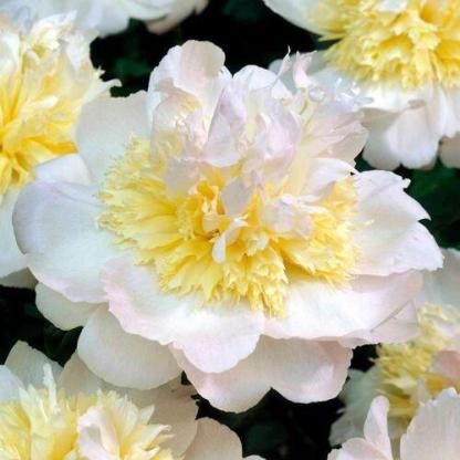 Paeonia lactiflora 'Honey Gold' - lágyszárú bazsarózsa
