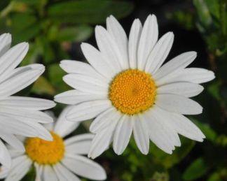 leuchanthemum-maximum-brightside-margareta