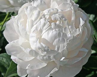 Paeonia lactiflora 'Mary E. Nicholls' - lágyszárú bazsarózsa