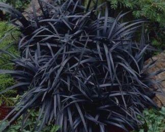 ophiopogon-planiscapus-black-dragon-kigyoszakáll