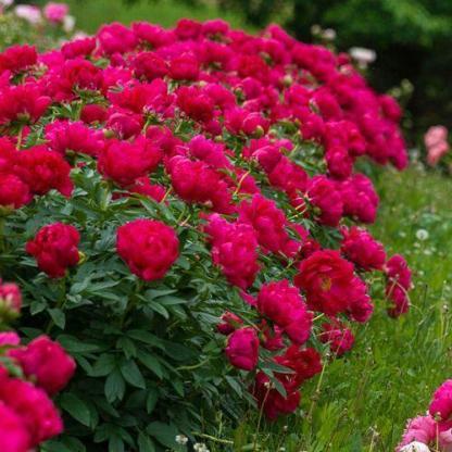 Paeonia lactiflora 'Red Sarah Bernhardt' - lágyszárú bazsarózsa