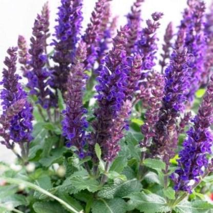 salvia-nemorosa-sensation-compact-violet-ligeti-zsalya