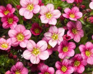 saxifraga-arendsii-alpino-pink-kőtörőfű