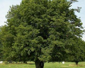 Carpinus-Betulus-gyertyán-fa