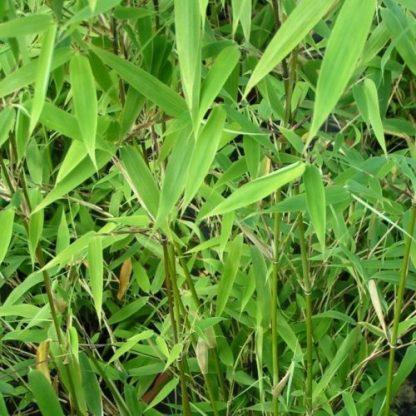 fargesia-muriale-tiny-bambusz