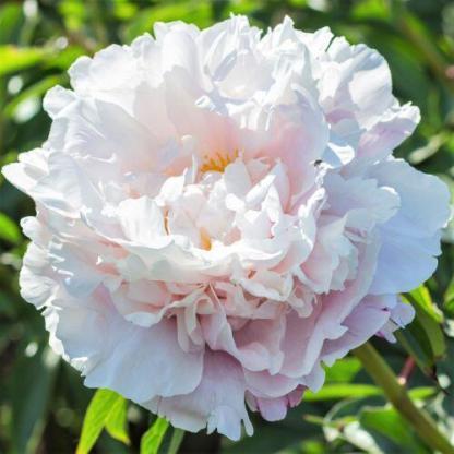 Paeonia lactiflora 'Gardenia' - lágyszárú bazsarózsa