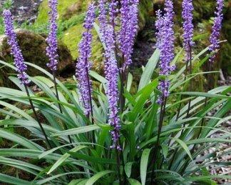 liriope-muscari-royal-purple-gyöngyikés-gyepliliom