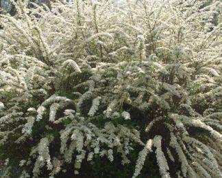 spiraea-x-cinerea-grefsheim-hamvas-gyöngyvessző