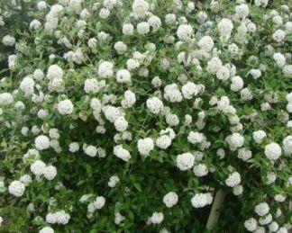 viburnum-burkwoodii - tavaszi-bangita