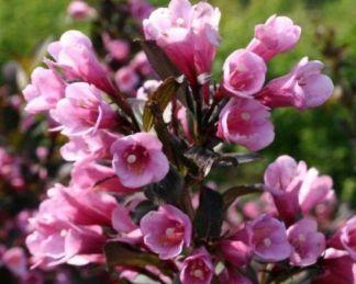 weigela-florida-purpuresa-virág-rózsalonc