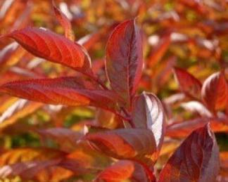 weigela-florida-wings-of-fire-rózsalonc