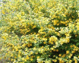 Kerria-japonica-golden-guinea-boglárkacserje