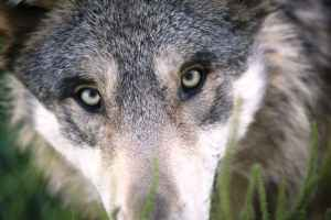 brown and gray animal face in closeu p