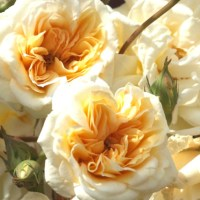 Rose - Queen of Flowers - The Secrets of Nature
