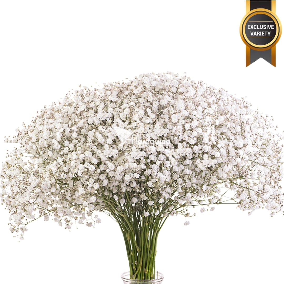 Gypsophila Elena by Florequisa Flower Growers