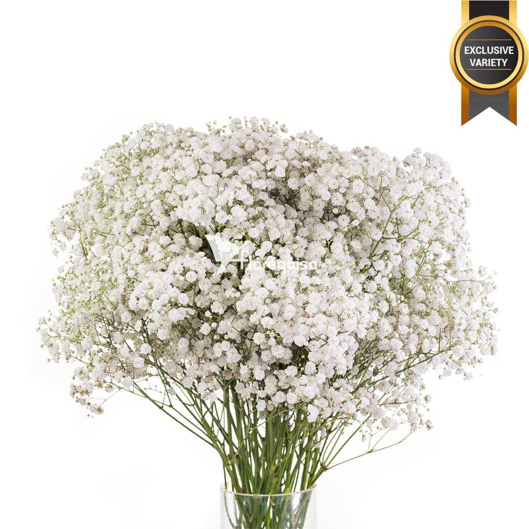 White Force Gypsophila by Florequisa