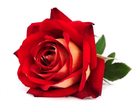 Ramo de rosas de mano