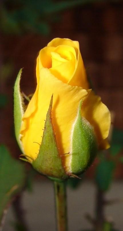Fondos de whatsapp de flores amarillas