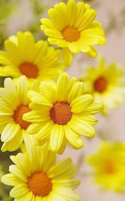 Imagenes de Hermosas Flores Amarillas Para Fondos De Celular