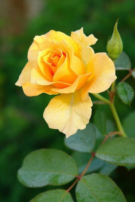 Imagenes de rosas amarillas para fondo de pantalla