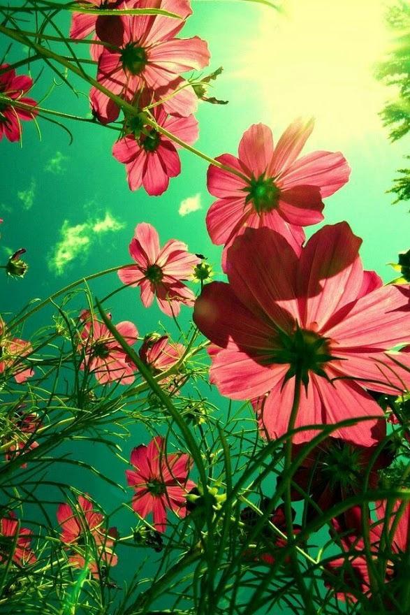 Lindos Fondos de Flores Para Tu Celular