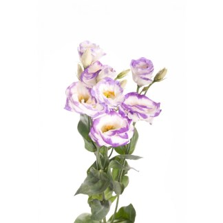 lisianthus-lila