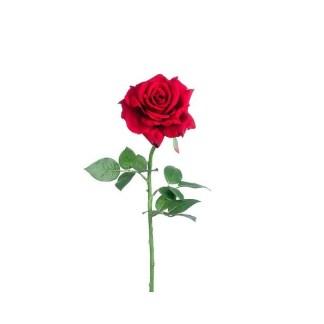 rosa-roja
