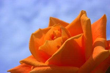 rosas-naranjas