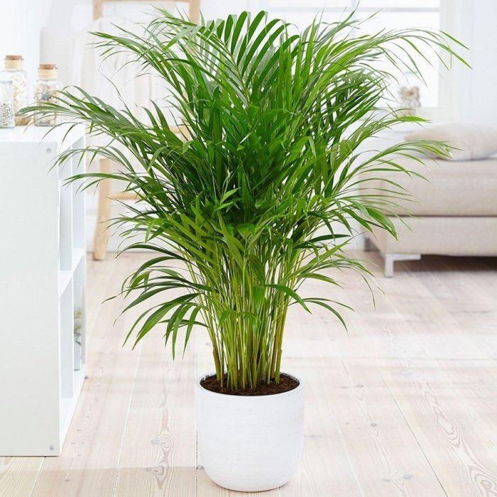 Palmera Amarilla. Beneficios plantas de interior