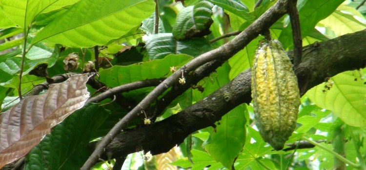 Cocoa trees grow in Flores