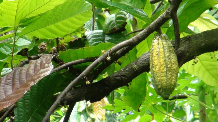 Cocoa trees grow in Ende, East Flores