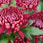 chrysanthemum bordeaux, flores para siempre